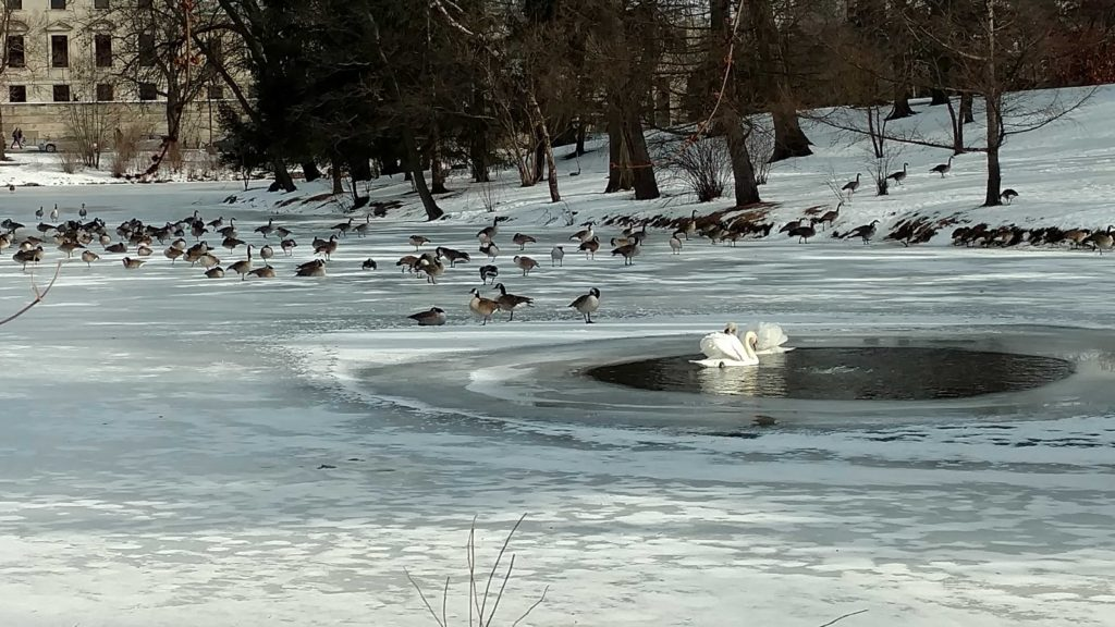 Open Water Keeps Swans Safe